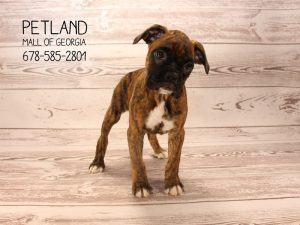 Beautiful Boxer Puppies For Sale Petland Mall Of Georgia