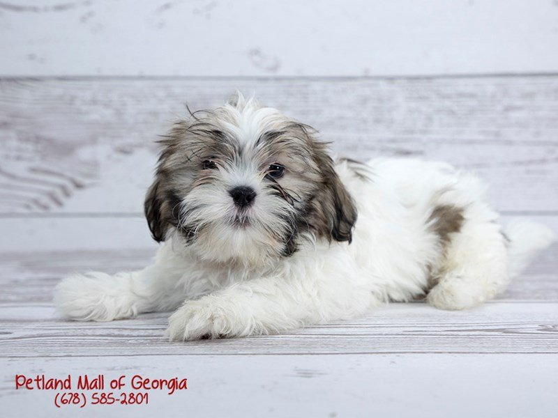Information About Shih Tzu Puppies For You Petland