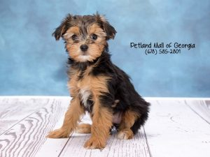 7 Fun Facts about Yorkshire Terrier puppies - Petland Mall