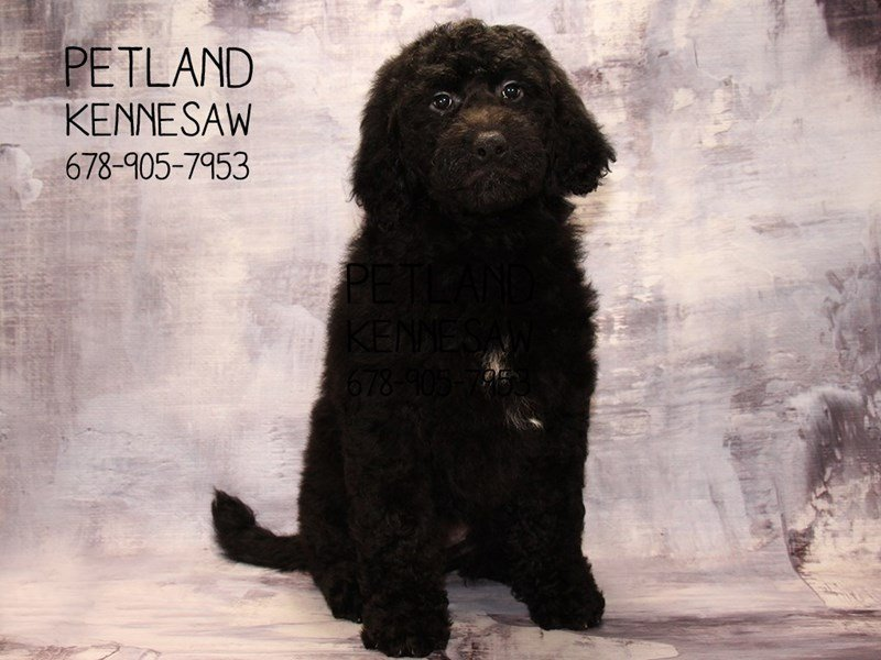 Goldendoodle-DOG-Female-Black-2080715-Petland Mall of Georgia