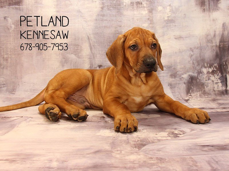 Rhodesian Ridgeback-Male-Red Wheaten-2085365-Petland Mall of Georgia
