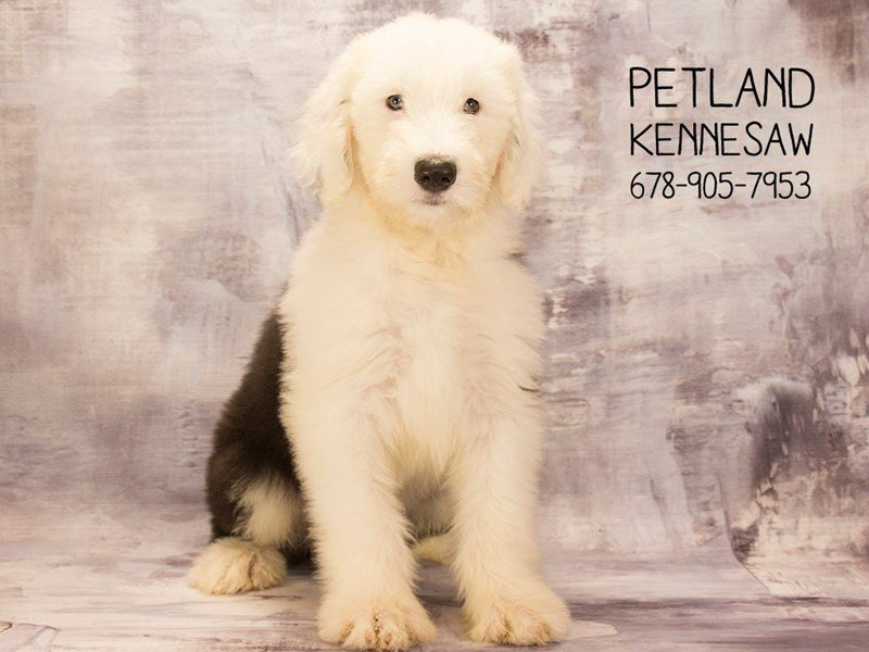 Old English Sheepdog-Male-Black / White-2094819-Petland Mall of Georgia