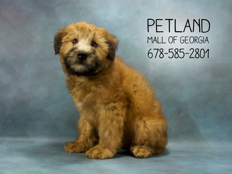 Soft Coated Wheaten-Male-WHTN-2093964-Petland Mall of Georgia