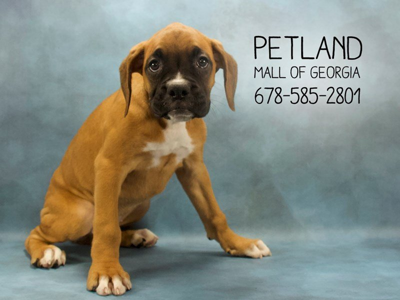 Visit Our Boxer Puppies For Sale Near Lilburn Georgia