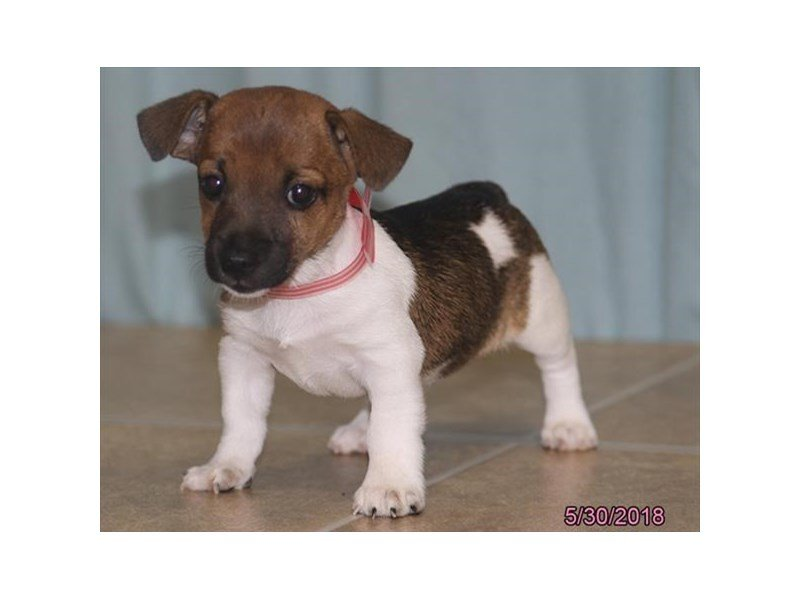 Jack Russell Terrier-Female-Red / White-2100150-Petland Mall of Georgia