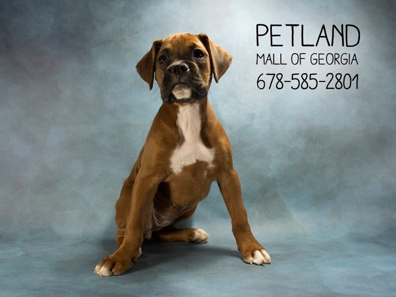 Visit Our Boxer Puppies For Sale Near Dacula Georgia