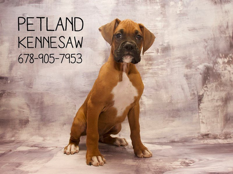 Visit Our Affectionate Boxer Puppies For Sale Near Suwanee Georgia