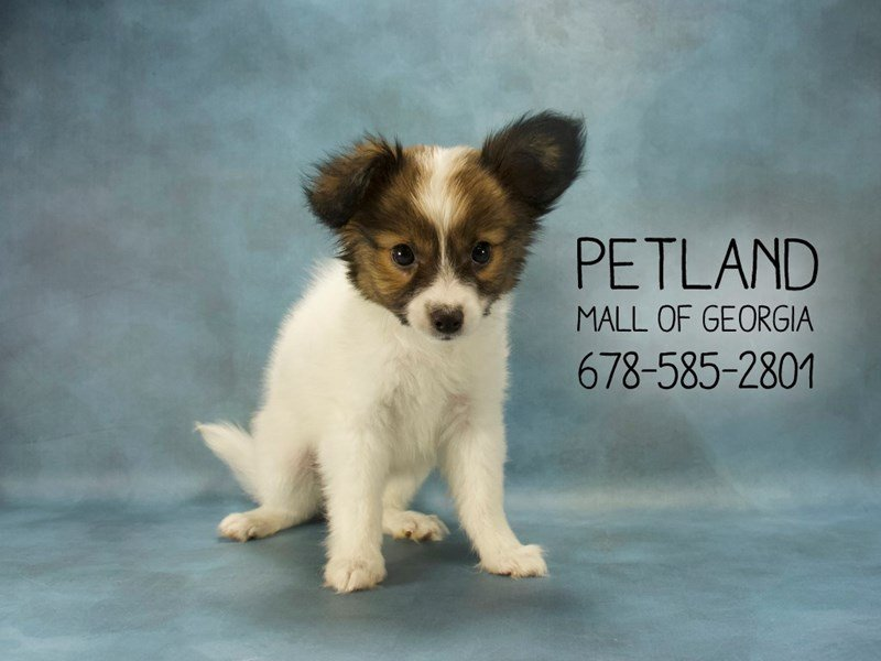 Papillon-Male-FN & WH-2114269-Petland Mall of Georgia