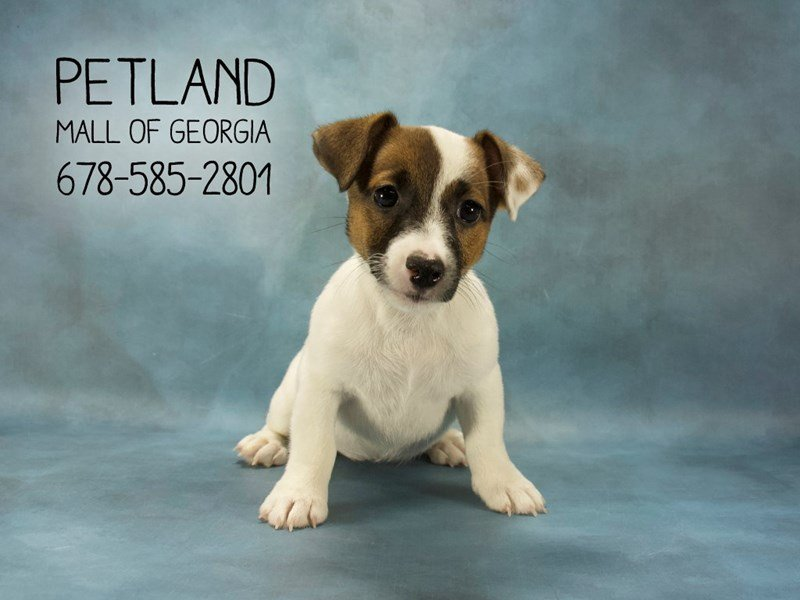 Jack Russell Terrier-Female-WH:TN MKGS-2114438-Petland Mall of Georgia
