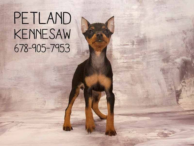 Miniature Pinscher-Female-Black / Rust-2120441-Petland Mall of Georgia