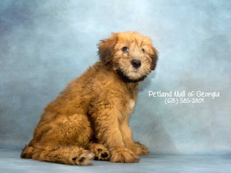 Soft Coated Wheaten-Female-WHTN-2124099-Petland Mall of Georgia