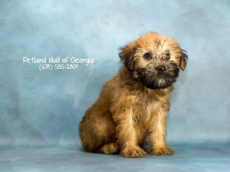 Soft Coated Wheaten-Male-WHTN-2125983-Petland Mall of Georgia