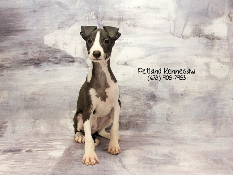 Italian Greyhound-Male-Black / White-2125916-Petland Mall of Georgia