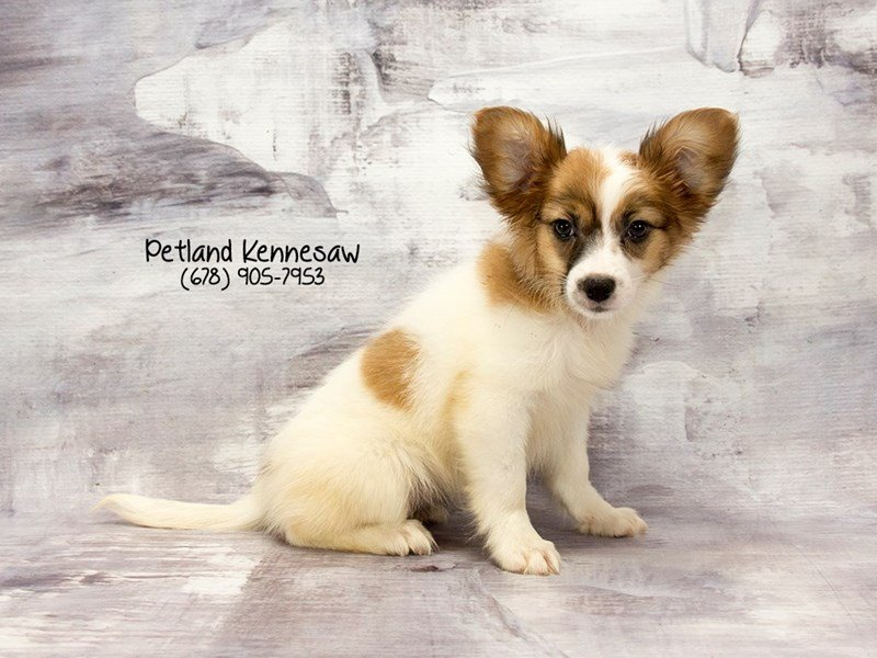 Papillon-Female-Sable / White-2125915-Petland Mall of Georgia