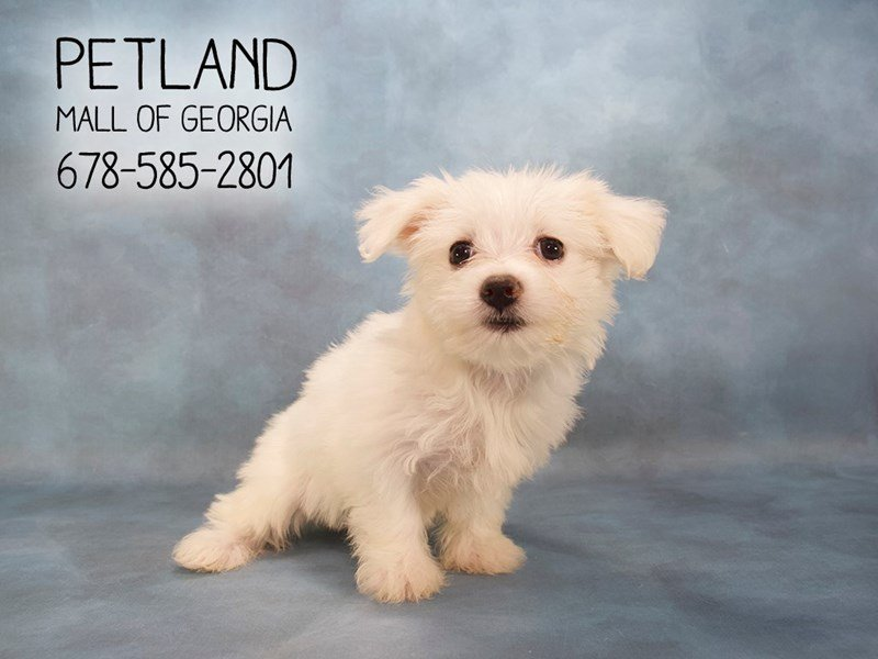 Coton De Tulear-Female-WH-2145497-Petland Mall of Georgia