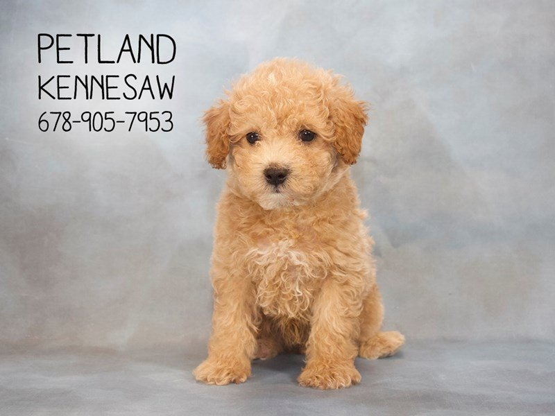 Poodle-Male-RED-2145008-Petland Mall of Georgia
