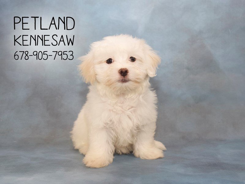 Coton De Tulear-Female-White-2147105-Petland Mall of Georgia