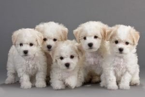 Beautiful Bichon Frise Puppies are Here! - Petland Mall of