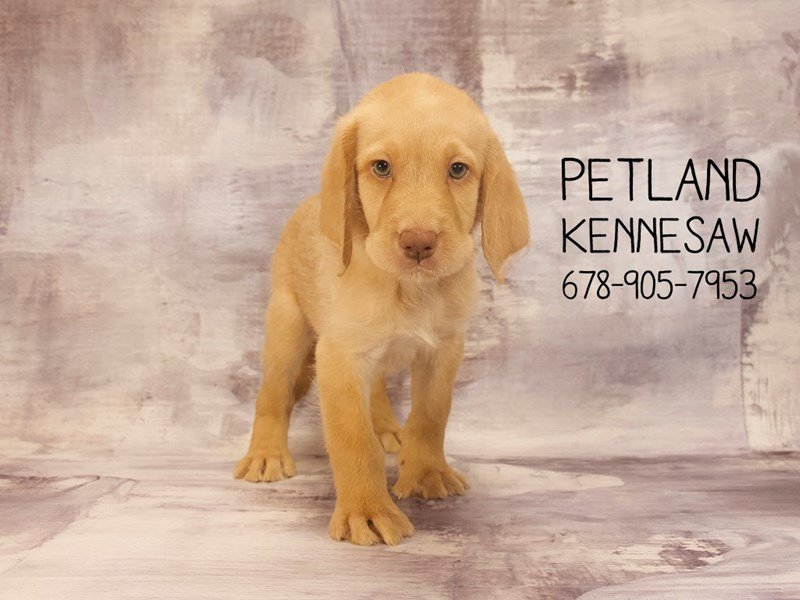 Labradoodle-Male-yellow-2129452-Petland Mall of Georgia