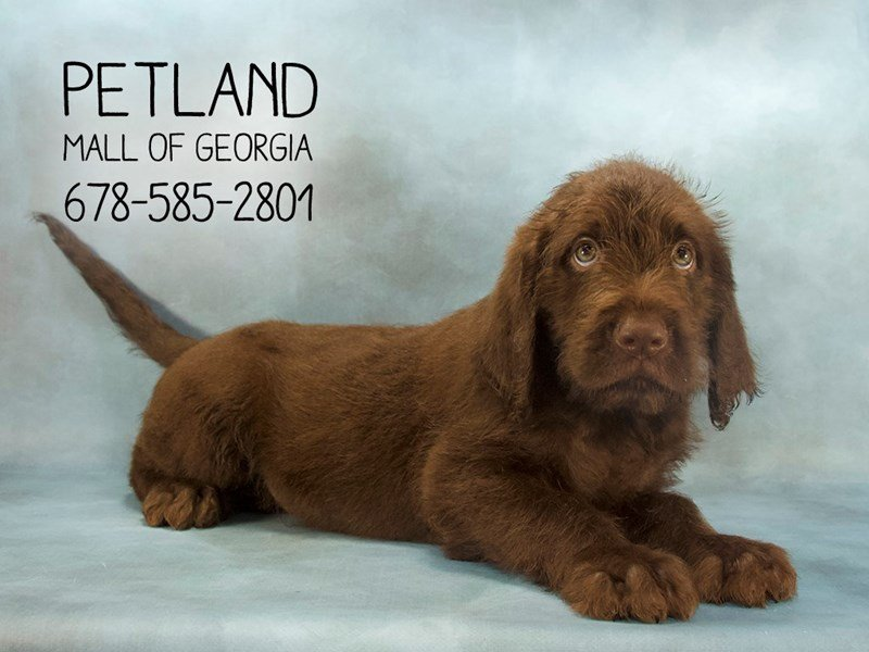 Labradoodle-Male-Chocolate-2129453-Petland Mall of Georgia