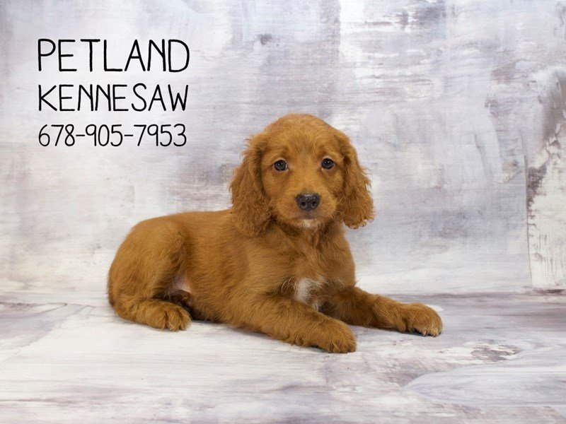 Mini Goldendoodle 2nd Gen-Male-Golden-2139774-Petland Mall of Georgia