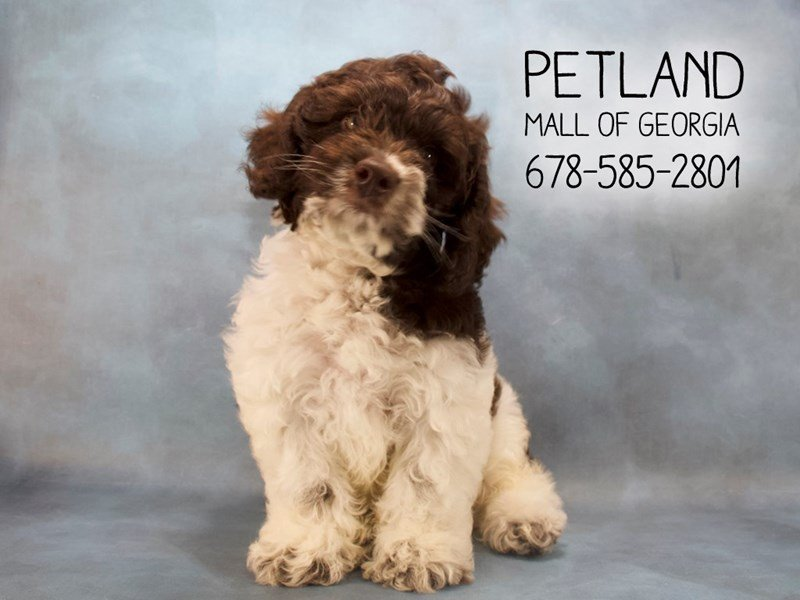 Cock A Poo-Male-Chocolate / White-2146655-Petland Mall of Georgia