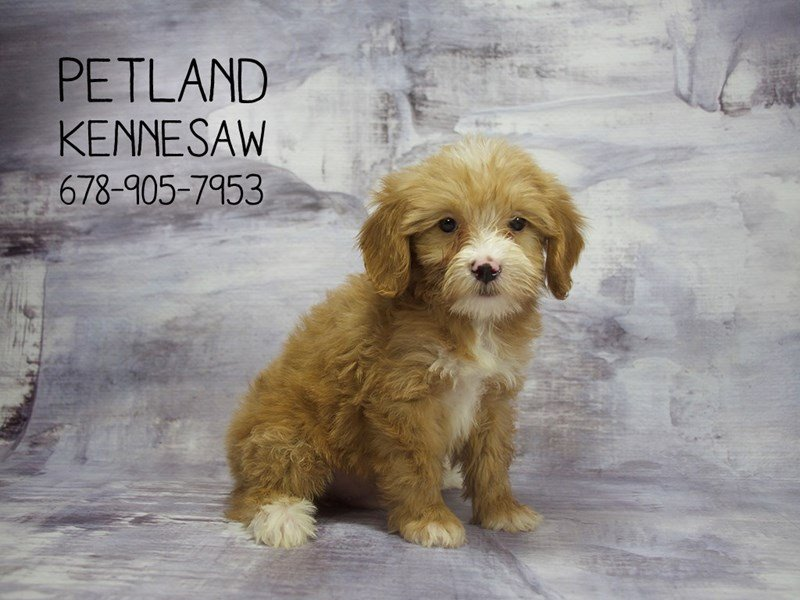 Miniature Goldendoodle 2nd Gen-DOG-Male-Red w/White Markings-2144020-Petland Mall of Georgia