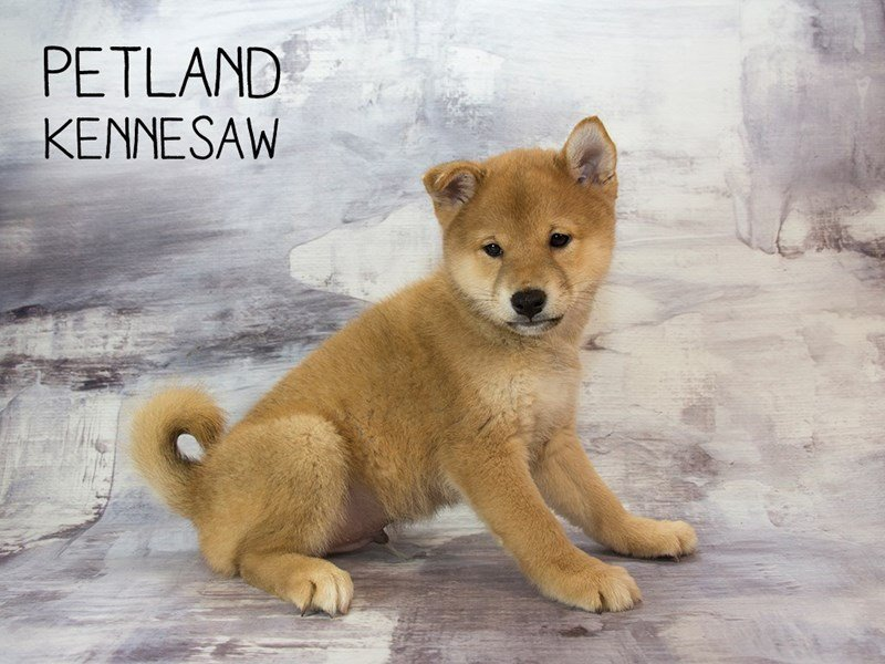 Shiba Inu-DOG-Male-rd-2158096-Petland Mall of Georgia
