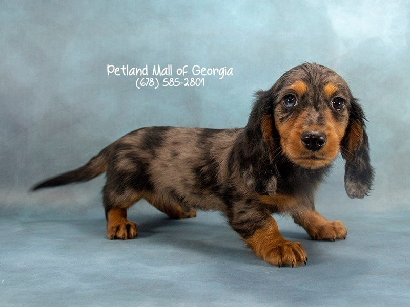 Dachshund Puppies Breed Info - Petland Mall of Georgia