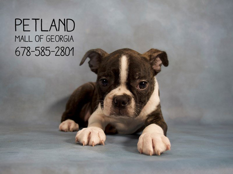 Boston Terrier-DOG-Male-BLACK WHITE-2140023-Petland Mall of Georgia