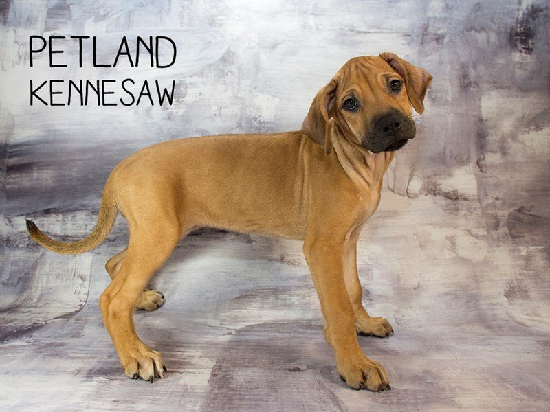 Rhodesian Ridgeback-DOG-Female-Wheaten-2166947-Petland Mall of Georgia