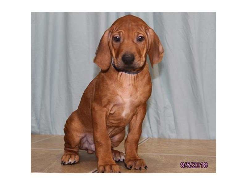Rhodesian Ridgeback-Male-Wheaten-2172111-Petland Mall of Georgia