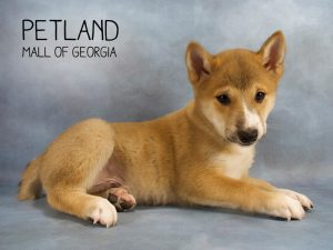 Petland Has Sweet Puppies For Sale Petland Mall Of Georgia