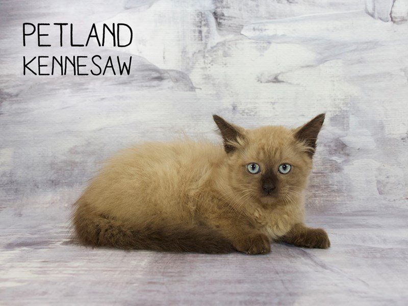 Ragdoll-Female-Seal Mink-2173116-Petland Mall of Georgia