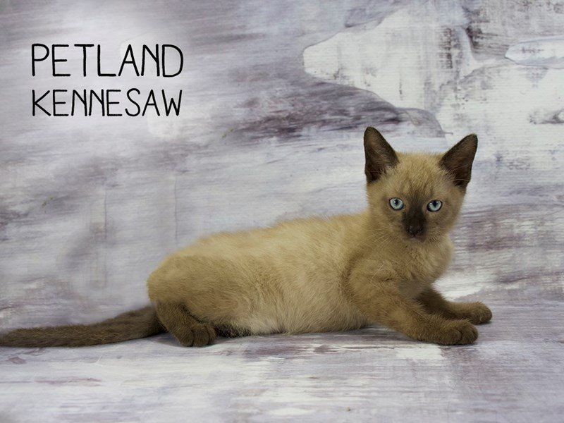 Ragdoll-Female-Seal Mink-2173117-Petland Mall of Georgia