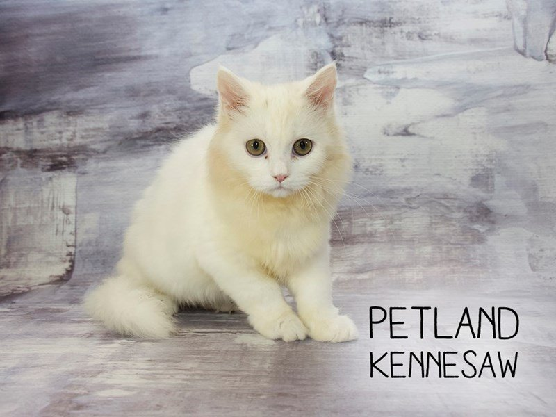 Ragdoll-Male-Cream Point-2173120-Petland Mall of Georgia