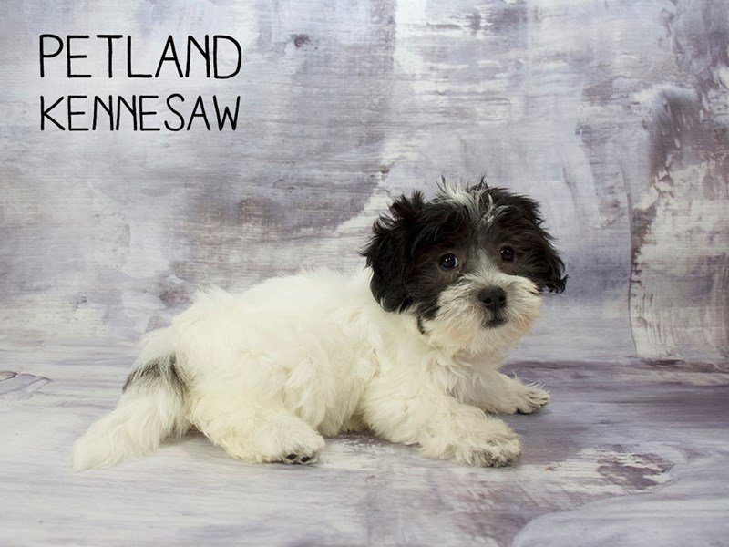 Coton De Tulear-Female-Black / White-2186638-Petland Mall of Georgia