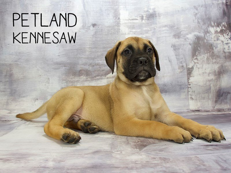 Bullmastiff-Male-Red Fawn-2186632-Petland Mall of Georgia