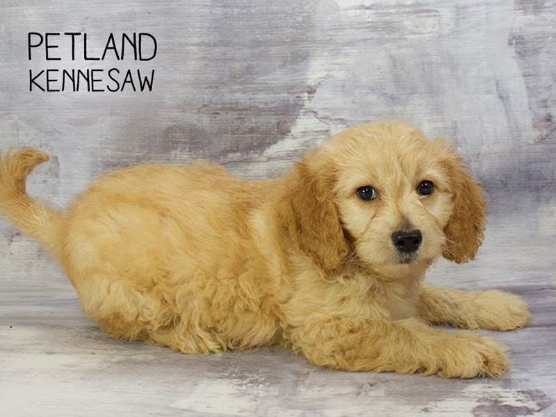 Miniature Goldendoodle 2nd Gen-DOG-Female-Golden-2198824-Petland Mall of Georgia