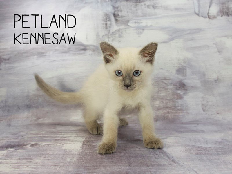 Ragdoll-Male-Blue Point-2173121-Petland Mall of Georgia