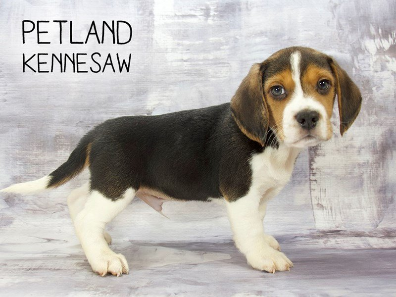 Beagle-Male-Tri-Colored-2195793-Petland Mall of Georgia