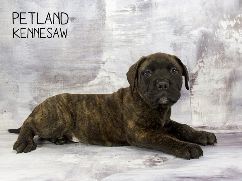 Bullmastiff-Male-Brindle-2200226-Petland Mall of Georgia