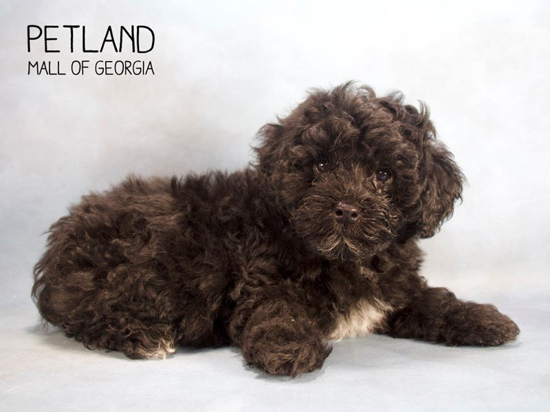 Miniature Poodle-DOG-Male-blk & wh-2201402-Petland Mall of Georgia