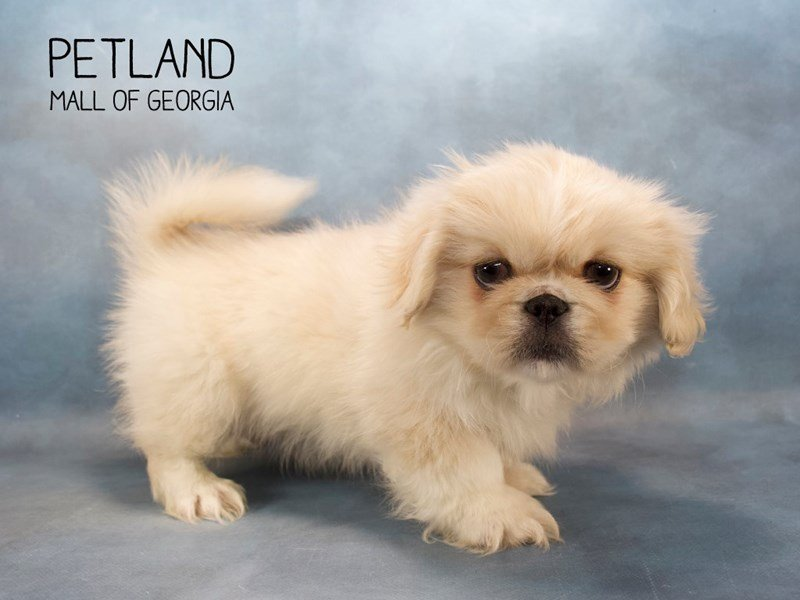 Pekingese Puppies Breed Info - Petland Mall of Georgia