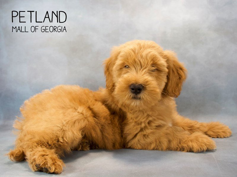 Goldendoodle 2nd Gen-Male-Apricot-2219474-Petland Mall of Georgia
