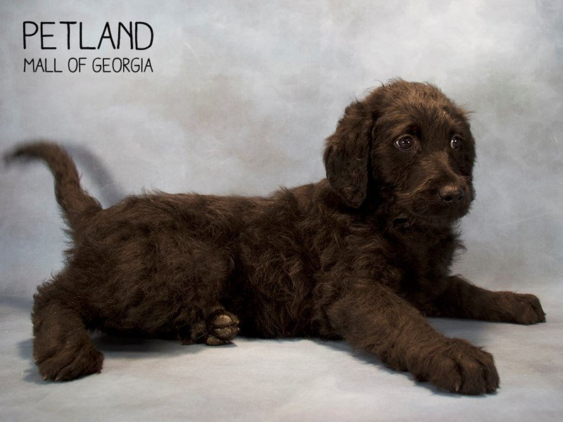 Labradoodle-Female-Yellow-2222364-Petland Mall of Georgia