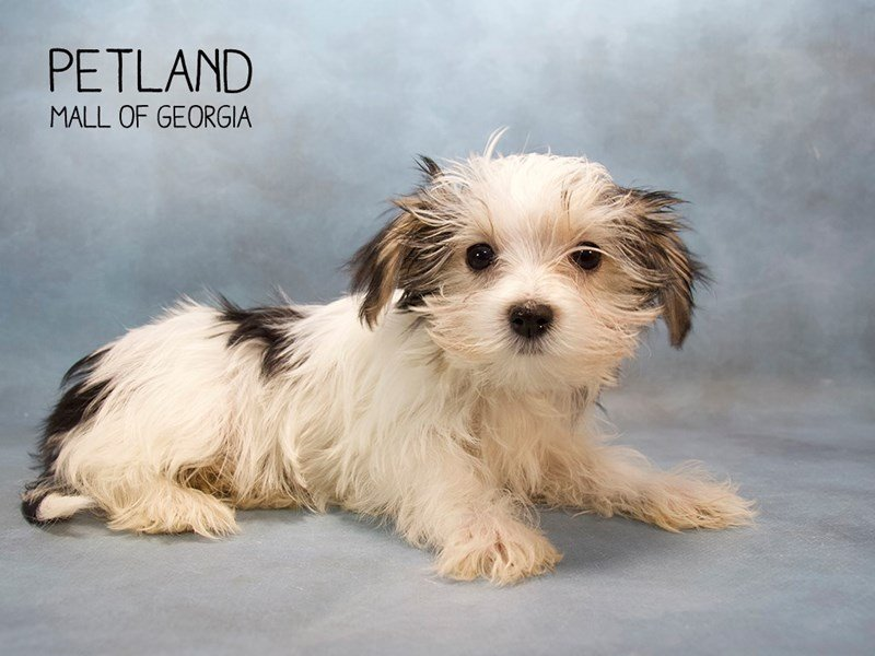 Biewer Yorkshire Terrier-Male-BLK & TN:PRTI-2232457-Petland Mall of Georgia