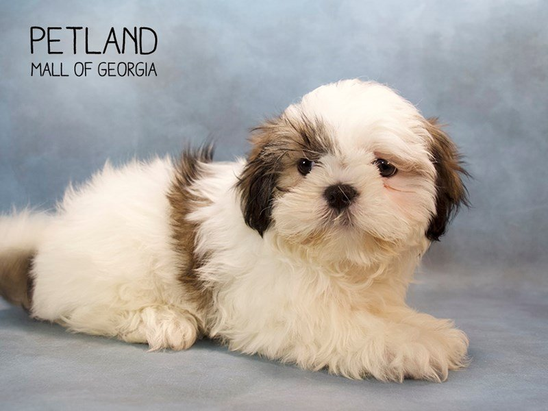 Shih Tzu Puppies Breed Info Petland Mall Of Georgia