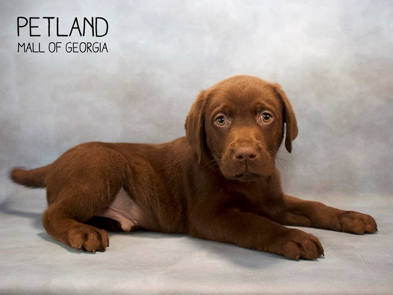 Labrador Retriever-DOG-Male-Chocolate-2233806-Petland Mall of Georgia