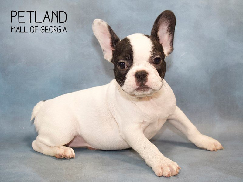 French Bulldog-DOG-Female-Blk:Pbld-2246214-Petland Mall of Georgia